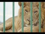 Брошенного в клетке льва спасают зоозащитники