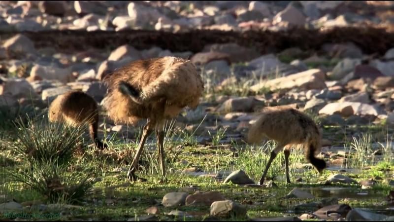 «Детёныши в дикой природе (15). Утро в Австралии» (Развлекательный, животные, 2015)