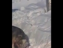 Волкодав против Пита 18+ собачьи бои (концовка)