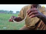 Как добывают змеиный яд