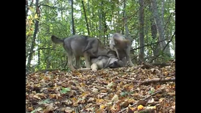 Волчата на Природе ...