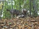 Волчата на Природе