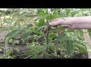 Выращивание томатов в теплице. Часть 2. Я сажаю.