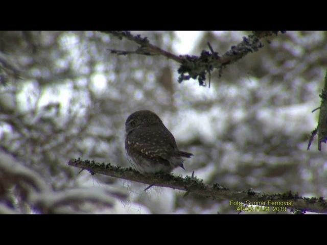 SPARVUGGLA Pygmy Owl (Glaucidium passerinum) Klipp - 1019