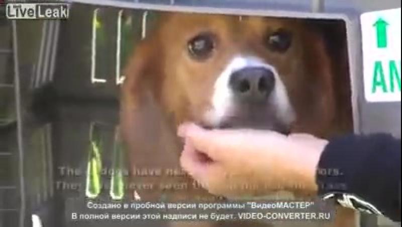 Подопытные собаки в первый раз вне помещения ...