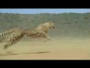 Cheetah running 120x4