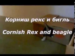 Корниш рекс и бигль играют. Cornish Rex and beagle playing.