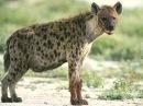 Sound hyenas, laughing hyena   Звук гиены, смех гиены