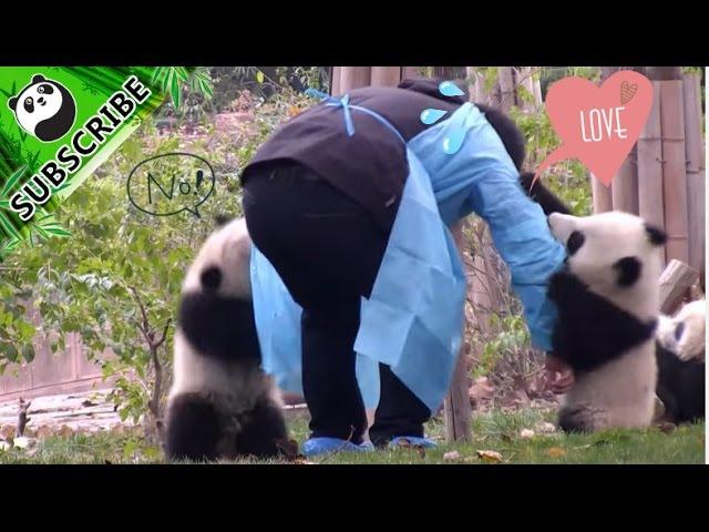 Panda cubs won't let keeper mom go