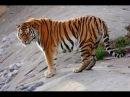 Тигр. Мир животных. Незваный гость в лесу. Документальный фильм National Geographic.