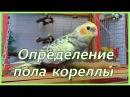 Как определить пол попугая кореллы-нимфы Самец или самка Рокки Life