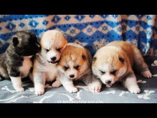 Щенки Акита-ину девочки на продажу-Akita-inu puppies for sale