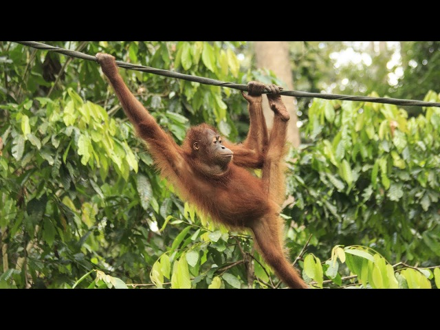 Monkey swinging on Rope and plays