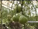 Овощеводы юга края собирают первый урожай минусинских томатов в теплицах