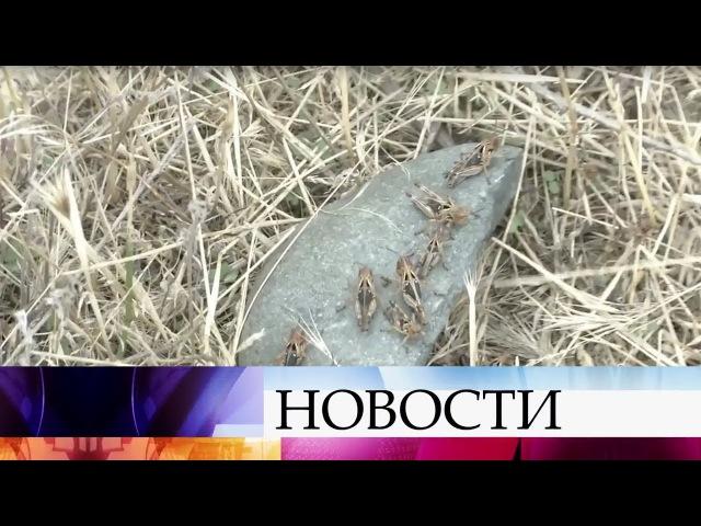Наюге России борются снашествием саранчи втрех районах Ставрополья введен режим ЧС