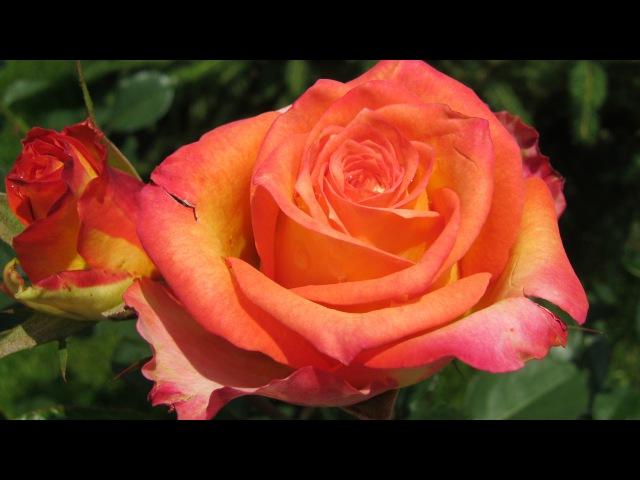 РОЗЫ. Как размножать розы воздушной отводкой. Легкий и быстрый способ.