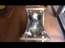 Смешной кот Мару спит в гамаке / Maru sleeps on the hammock
