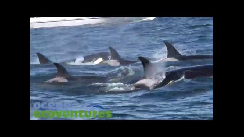 Killer Whales in the Strait of Georgia
