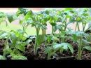 28 Проверенный временем способ выращивания рассады перца и помидор