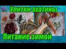 Африканская улитка ахатина питание зимой замороженными овощами и ягодами