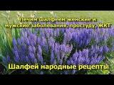 Шалфей народные рецепты. Лечим шалфеем женские и мужские заболевания, простуду, ЖКТ