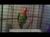 Попугаи занимаются любовью