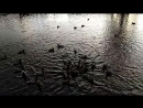 утки в парке дубки, сестрорецк
