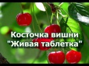 Косточка вишни - Живая таблетка