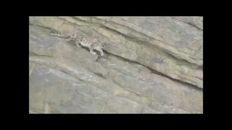 Падение снежного барса со скалы