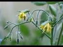 Сотовый поликарбонат ГРИНХАУС-НАНО часть 2, уход за томатами в первой половине и...