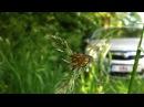 Kentucky Bluegrass (Poa Pratensis) / Smoot Meadow Grass - 2012-05-28