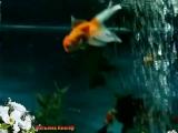 Золотая рыбка- Елена Ваенга