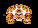 Анатомия полушарии большого мозга