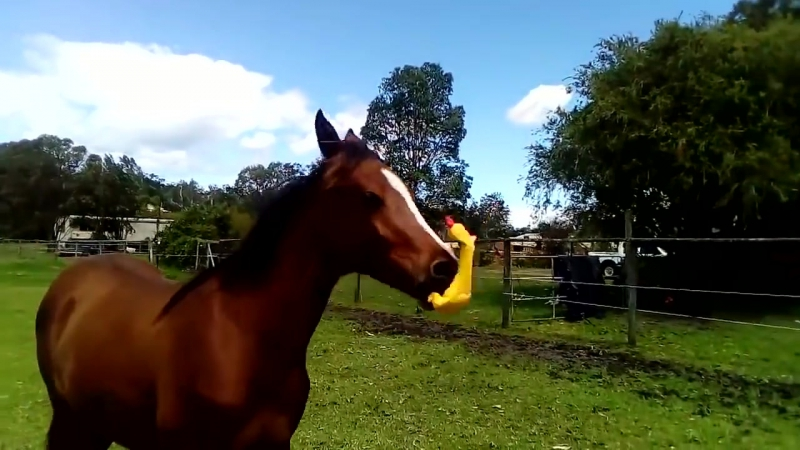 Horse Playing With Rubber Chicken