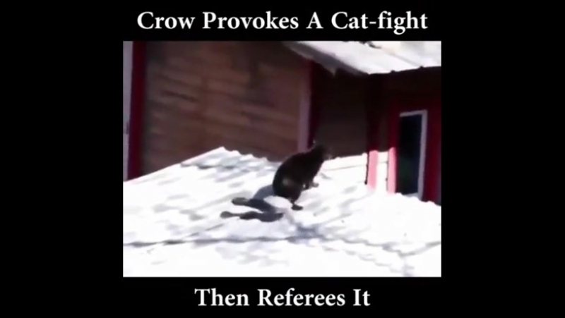 Fight a cat with a cat and a cocky crow