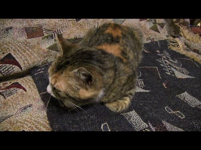 Сильный кашель у кошки. Coughing in a cat