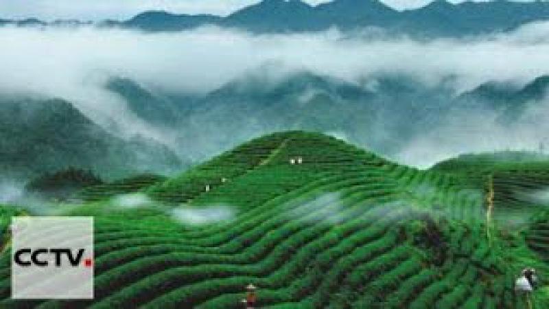 Чай - история одного листа Серия 4 Чужая земля,родная земля часть 1