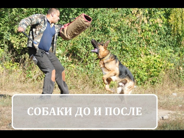 Собаки для защиты до и после/ Dogs for protection before and after