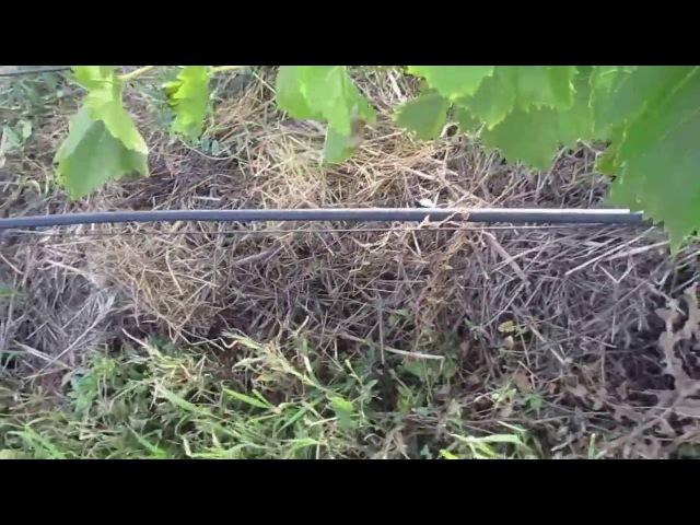 Результат лечения винограда от милдью, оидиума. Следующая обработка.