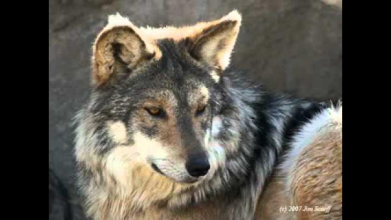 Ein junger Wolf - Волчонок - A. Marschal