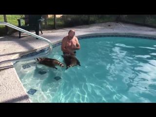 Еноты плавают в бассейне