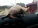 Кот насрал на панель авто!