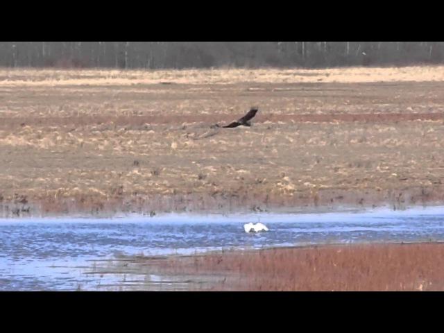 Лебедь защищает от ястреба утку