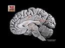 Внутреннее строение полушарий головного мозга