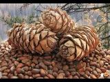 Добыча кедрогово ореха - Трудный хлеб тайги.