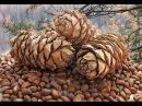 Добыча кедрового ореха Трудный хлеб тайги