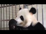 Вы когда-нибудь видели как панда есть бамбук?