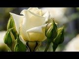 Музыка и розы... Эрнесто Кортазар - Секреты моего сердца... Secrets Of My Heart - Ernesto Cortazar