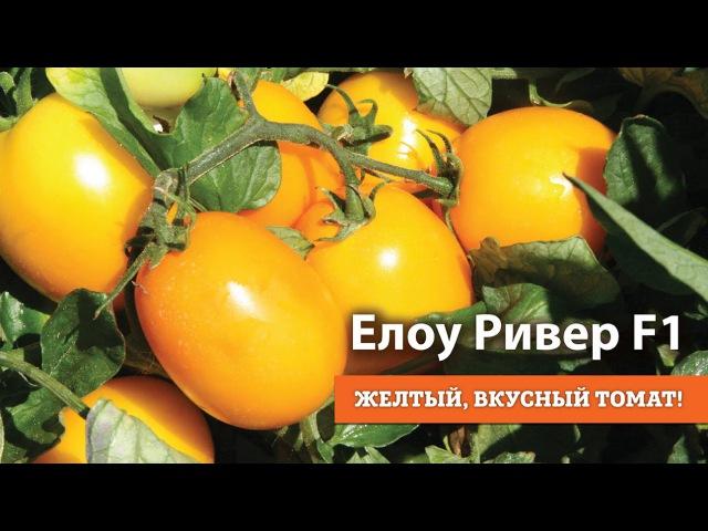 Еллоу Ривер F1. Желтый, вкусный томат!