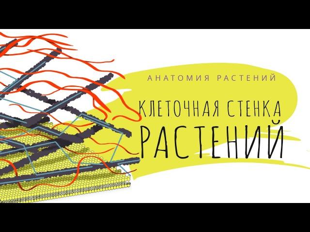 Вещества клеточной стенки. Анатомия растений - 2